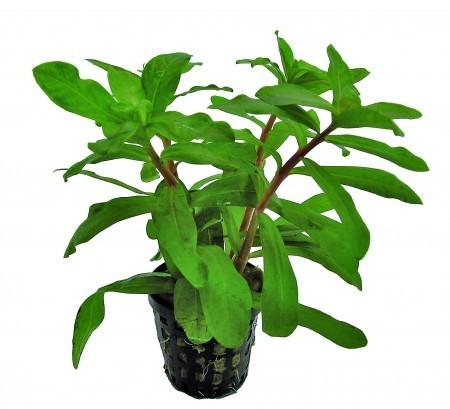Ammania_gracilis_green