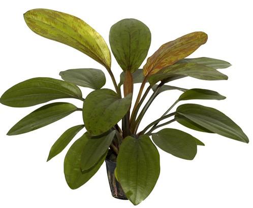 Echinodorus%20rose