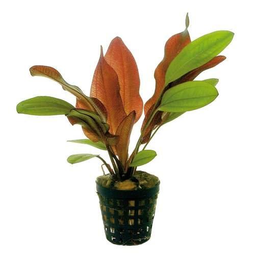 Potted-Red-Flame-Sword-Beginner-Tropical-Live-Aquarium-Plant-B017D20XXG