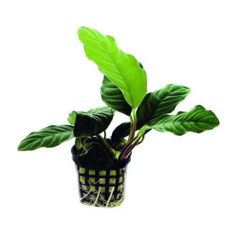 akvariuminis-augalas-anubias-caffeefolia