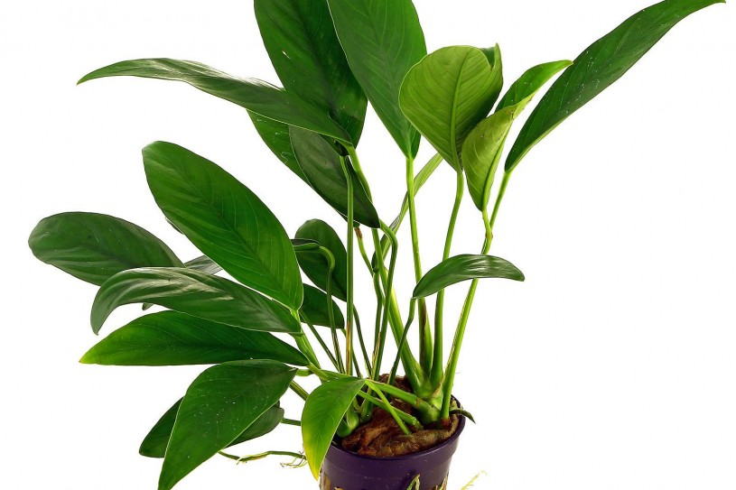 anubias-barteri-var-angustifolia-pot