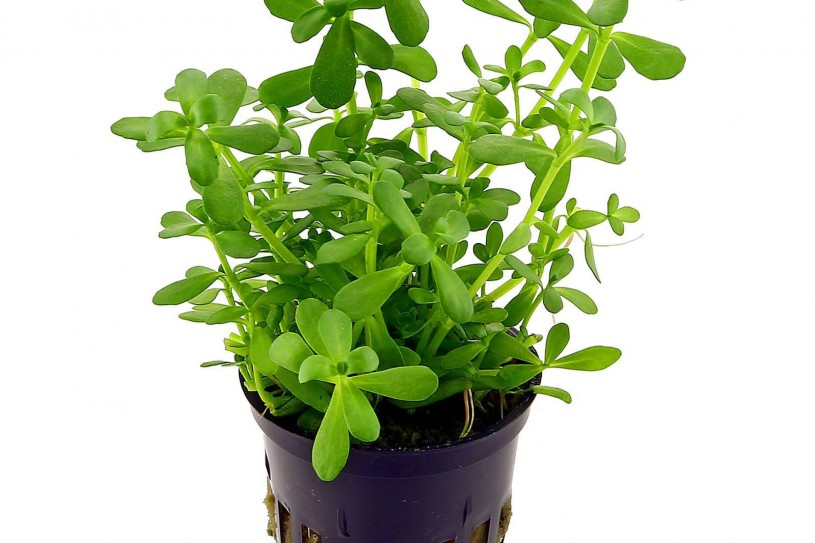 bacopa-monnieri-compact-pot