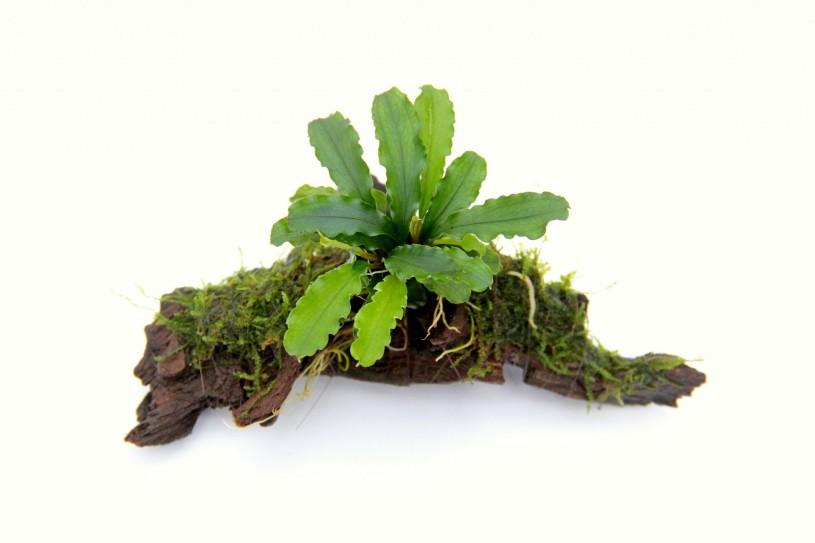 bucephalandra-wavy-leaf-on-small-wood-1969-p