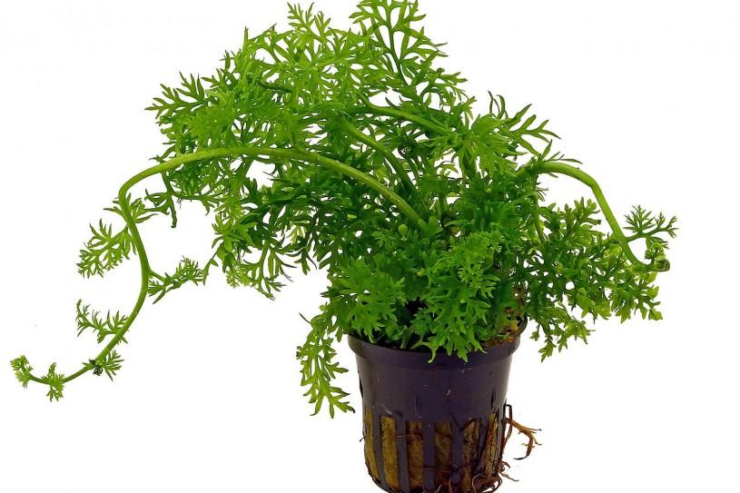 ceratopteris-thalictroides-pot