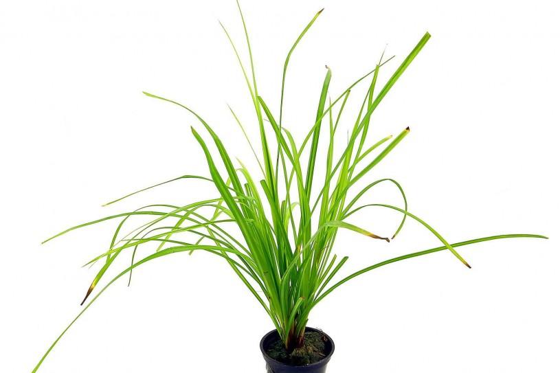 cyperus-helferi-pot