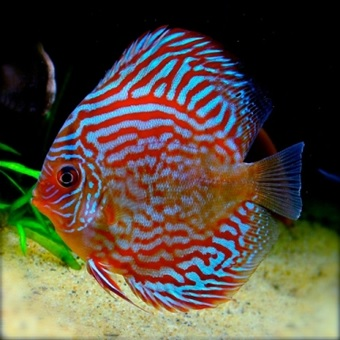stendker-discus-rood-turquoise-17-cm