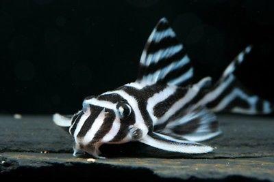 zebra-pleco-l46